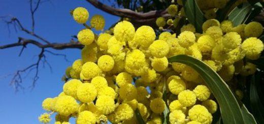 Mimosa Giornata della Donna