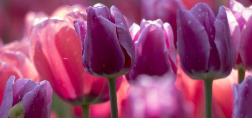 Tulipani e danze storiche