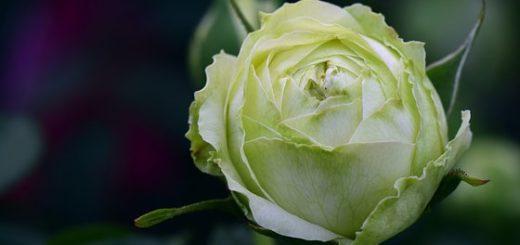 Alla ricerca della rosa perduta