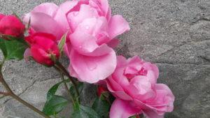 Rose al Castello