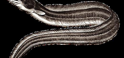 Sagra anguilla Lombriasco