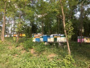 Mancata produzione di miele d'acacia