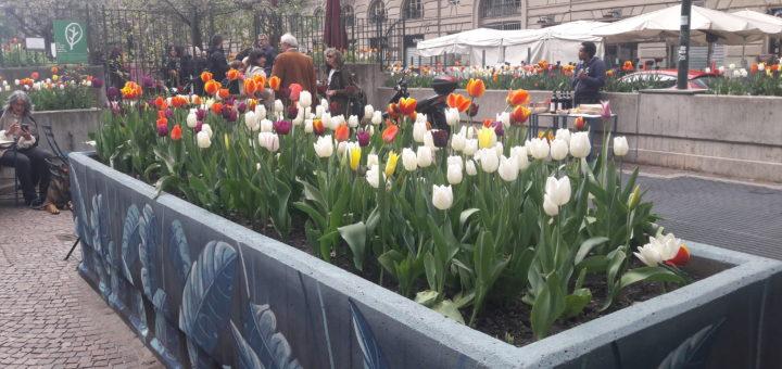 Messer Tulipano al Quadrilatero