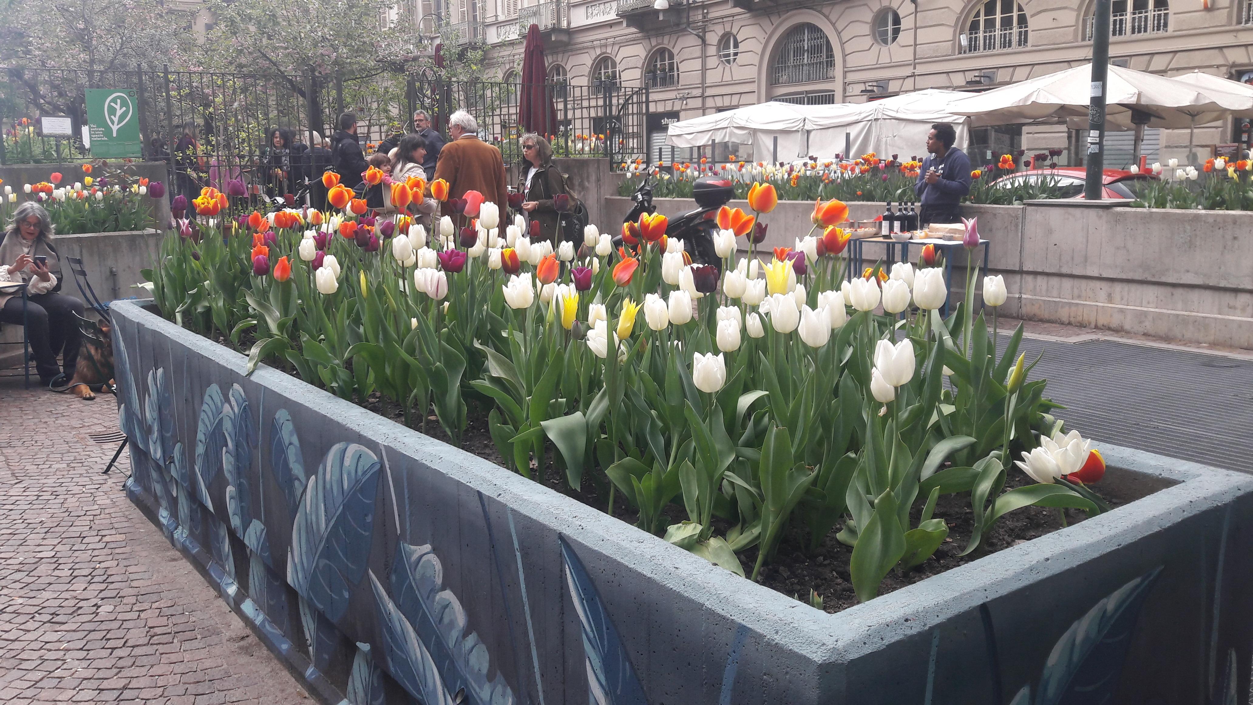 Piantare I Bulbi Di Tulipani messer tulipano torna in città, mercoledì 6 novembre