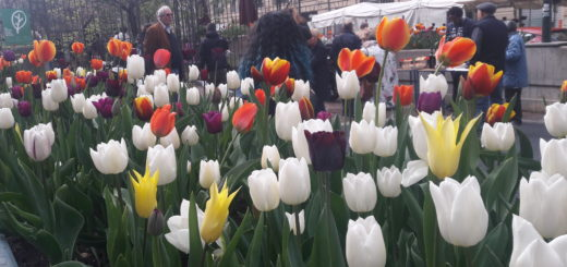 Tulipani al Quadrilatero