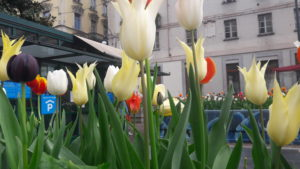 Tulipani al Quadrilatero di Torino