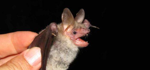 Pipistrelli a Staffarda