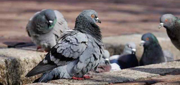 ordinanza contro i piccioni