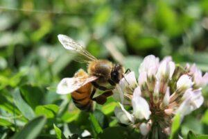 ape trifoglio prato verbavolnt maggio