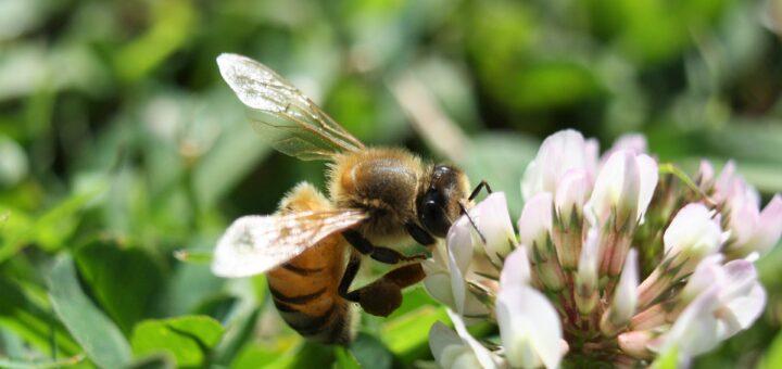 ape trifoglio prato